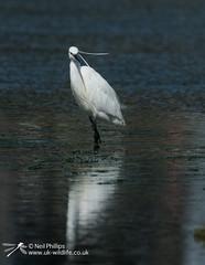 Little egret in West Looe River-2 (Neil Phillips) Tags: ardeidae aves egrettagarzetta littleegret neoaves pelecaniformes bird footed heron longlegs longneck yellow