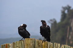 Pied crows couple (supersky77) Tags: piedcrow corvusalbus crow africa kenya samich bird uccello cornacchia corvo