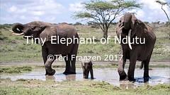 Tiny Elephant of Ndutu (tkfranzen) Tags: elephant africanelephant ndutu tanzania video babyelephant africanwildlife africansafari roysafaris wildlifephotography naturephotography iucnvulnerable loxodonta