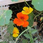 nasturtium & poppies thumbnail