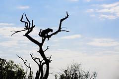 Looking for Lunch (matttrevillionphotography.com) Tags: chobe botswana leopard khwai