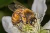 HoneyBee-0002.jpg (vorneo) Tags: honeybee classinsecta kingdomanimalia europeanhoneybee orderhymenoptera familyapidae westernhoneybee bee phylumarthropoda wild speciesamellifera binomialnameapismellifera genusapis
