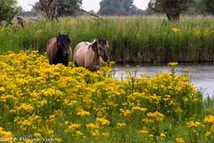 Oostvaardersplassen_driehoek-6763 (ellyvveen) Tags: konikpaarden