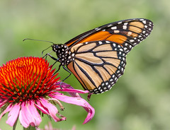 Monarch Butterflies love coneflowers. (tresed47) Tags: 2017 201707jul 20170707chestercountymacro canon7d chestercounty content folder insects july macro pennsylvania peterscamera petersphotos places season springtonmanor summer takenby technical us ngc npc