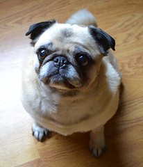 Thank You Friends For The Get Well Wishes (DaPuglet) Tags: pug pugs dog dogs animal animals love