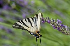 Joli Flambé (benjamin urbain) Tags: macro extérieur nature fleur lavande insectes d3300 papillon flambé
