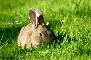 Rabbit  on the Lawn