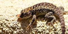 20170623 Desert spiny lizard with a cock roach lunch (lasertrimman) Tags: 20170623 desert spiney lizard with cock roach lunch desertspineylizard cockroachlunch desertspinylizard spiny sceloporusmagister sceloporus magister