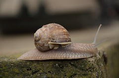 Brown tint (Mathijs van der Elburg) Tags: snail slak langzaam traag slow brown tint shell slimy