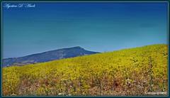 Sicilia: sarà un'estate molto calda e torrida - Giugno-2017 (agostinodascoli) Tags: paesaggi nature landscape montedisara agostinodascoli cianciana sicilia fiori texture monti cielo