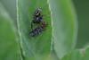 snacktime (severalsnakes) Tags: kansas m1004macro pentax saraspaedy shawnee shawneemissionpark bug insect jumpingspider k1 raynox150 spider