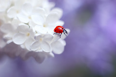 Syringa vulgaris ☀️💐🐞 (ElenAndreeva) Tags: beauty color nature macro flower sun light summer bokeh beautiful bright cute white insect canon garden purple top blur flora dream colorful sweet focus bug ladybug natural best amazing no person new june two