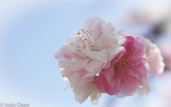 Sakura (judy dean) Tags: judydean 2017 japan sakura cherryblossom flowers pretty pink