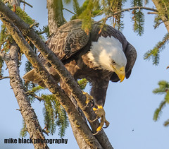 Bald Eagle NJ shore (Mike Black photography) Tags: bald eagle eaglet bird nature birding big year nj new jersey shore photo canon 5ds r 800mm lens body is usm l tree raptor nest sky mike black june summer 2017 watching hawk