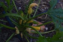 June 2017 polyculture garden update - 16 (pakovska) Tags: garden gardening vegpatch allotment potager jardin jardinage moestuin volkstuin forestgarden groentetuin permaculture polyculture