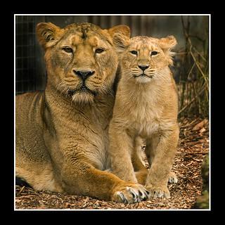 Aziatische leeuw - Panthera leo persica