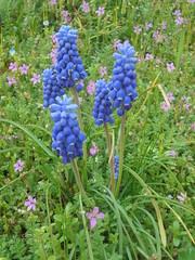 1154 (en-ri) Tags: fiorellini rosa blu erba grass little flowers sony sonysti