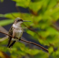 2 Feeders Are Property Of One (AnthonyVanSchoor) Tags: rubythroatedhummingbird nikond7100 tamron150600mmtelephotolens patuxtent research refuge birding birdphotography bird