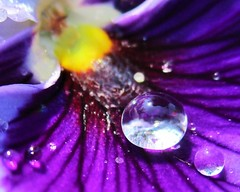 Raindrops on a blue pansy (seanwalsh4) Tags: bluepansyleaf raindrops colourful drips drops macromonday dripsdropsandsplashes 19062017 canon seanwalsh rain small little nature nice happy lovely blue delightful delicate weather raining bristol england closeup near beautiful bokeh blur wet