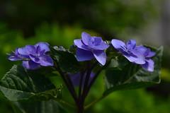 20170605_073_2 (まさちゃん) Tags: 紫陽花 紫 横 真横