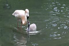 Flamingos- (rotraud_71) Tags: germany bavaria münchen munich zoo hellabrunn flamingo birds water reflections tiergarten