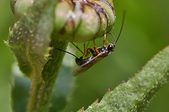 Ichneumon wasp ovipositing sequence #4 (Lord V) Tags: macro bug insect wasp ichneumon egglaying oshiro