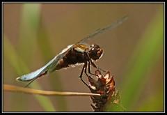 Black-tailed skimmer (kev7d2) Tags: blackteiledskimmer dragonfly amwell landed settle close