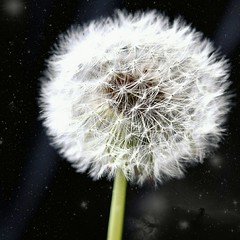 dandelion (Mihashi_SPb) Tags: dandelion flower white green