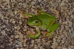 Green Tree Frog (Litoria caerulea) (shaneblackfnq) Tags: green tree frog litoria caerulea shaneblack amphibian maryfarms fnq far north queensland australia tropics tropical