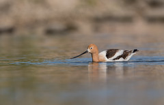 American Avocet (nikunj.m.patel) Tags: avocet american shorebird birds avian nature photography wildlife bird migration spring