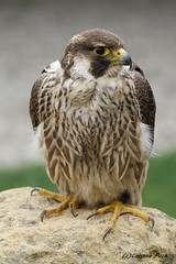 Faucon de Barbarie (Passion Animaux & Photos) Tags: faucon barbarie barbary falcon zoo neunkirchen allemagne germany