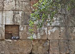 La pareja (Barrio Gótico). (svet.llum) Tags: paloma barriogótico barcelona catalunya cataluña ciudad arquitectura animal pájaro verano