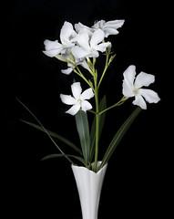 White Oleander Flowers - Black Background (Bill Gracey 15 Million Views) Tags: oleander flowers flores white blackbackground offcameraflash softbox yongnuorf603n yn560 nature naturalbeauty macrolens tabletopphotography homestudio