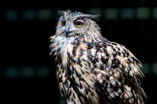 Eagle Owl : ワシミミズク