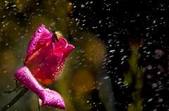 Beetle takes shower (Jean-Luc Peluchon) Tags: panasonic fz1000 lumix fleur flower pluie rain eau water goutte drop color nature rose pink insecte insect bug contrejour light backlight macromondays dripsdropsandsplashes drip splashe