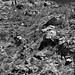 A Rugged Hillside of Rocks, Boulders and Saguaro Cactus (Black & White)