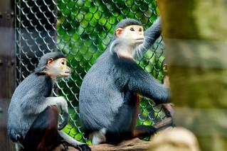 Duku Monkey's Mother and Child : アカアシドゥクラングールの母子
