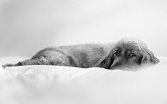 >>> Lazy Sunday's <<< (Harjodik) Tags: dogs cocker spaniel pets expressions comfort animals family sleeping resting eyes focus connections bokeh dof sony 55mm 18 zeiss natural light bnw black white a7