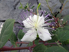 Italy_2017 217 Wild Flowers, Salina (Roger Nix's Travel Collection) Tags: aeolianislands aeolian isoleeolie eolie italy