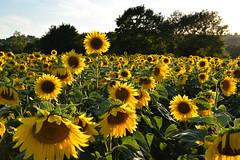 Celui qui voulait être le plus grand (Excalibur67) Tags: nikon d750 sigma globalvision 24105f4dgoshsma paysage landscape nature flowers fleurs tournesol sunflower jaune yellow campagne