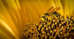Carnival (Jean-Luc Peluchon) Tags: macro insecte insect abeille bee nature color couleur jaune yellow fz1000 panasonic lumix flower fleur flore flora wildlife wild