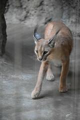 eriezoogrp2DSC_0096 (lwolfartist) Tags: caracal cat feline mammal animal nature photo