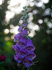2017-06-26_19-38-06 (torstenbehrens) Tags: garden flower bokeh olympus penf sigma 1850mm f28 dc digital camera