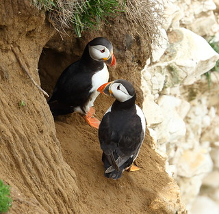 Good the Puffins have got their nest burrow back from the Razorbills!