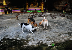 ,, The Hooligans ,, (Jon in Thailand) Tags: wildlife monkeys primates cave statues jungle monkeytemple dog dogs k9 k9s dj 2tone angeleyes kibble rice chicken bigchicken red green purple peachcolor manymonkeys wildlifephotography gold bell nikon d300 nikkor 175528 leroycrewturf thehooligans littledoglaughedstories