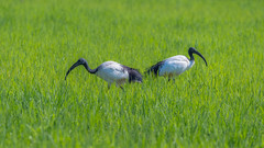 Ibis sacri (giansacca) Tags: animals animaux oiseaux animali vogel aves birds uccelli ibissacro