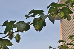 (nra45acp) Tags: hops homebrew beergeek