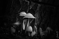 Mushrooms on the forest floor - 24 Junio 2017 BW (Johnny Edward Bankson) Tags: bw chile edward fujifilm fujinon fujinonxf50140mmf28rlmoiswrlens john johnbankson johnedwardbankson johnb lasgarzas lasgarzas1 photographer southamerica xt2 xf50140mmf28rlmoiswrlens blackandwhite champiñon champiñones fotografia fotografo garden jardín macro mushroom mushrooms photographersonflickr photographersontumblr photography yard ©johnbankson blackwhite black white cof034dmnq cof034mari cof034mark cof034biz cof034ally