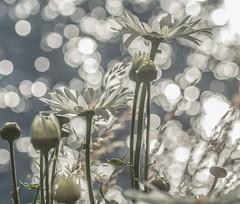 Sunshine Sparkle. (Omygodtom) Tags: sunrise sunshine flower sparkle river outdoors oregon tamron90mm bokeh leica lens world composition contrast natural nikkor nature nikon dof d7100 daisy park path trail abstract