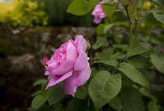Flowers. (ost_jean) Tags: roses rozen englishgarden england nikon d5200 tamron sp af 1750mm f28 xr ostjean bloemen fleurs plants bokeh